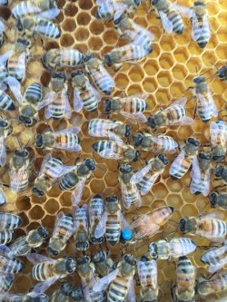 пчелинные матки породы бакфаст