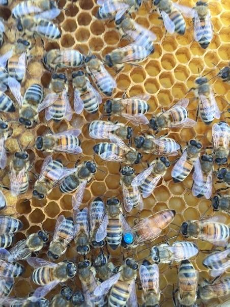 Reine des abeilles Buckfast